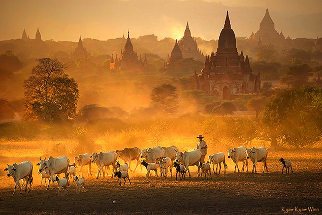2. Kyaw-Kyaw-Winn_cattle-temples_Bagan-Myanmar