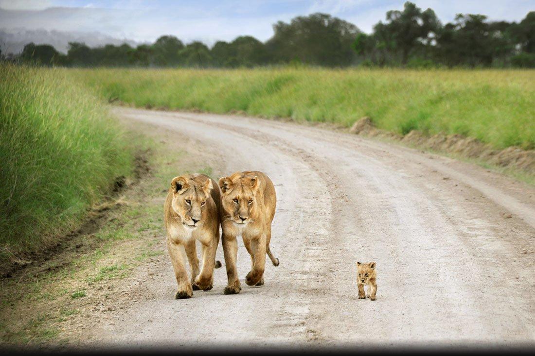 David-Lazar_Lions