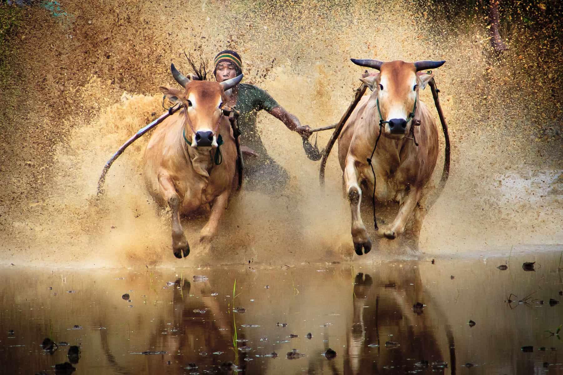 Buffalo racing on Bali, Indonesia