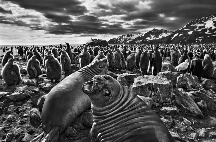Portrait of a seal by Salgado