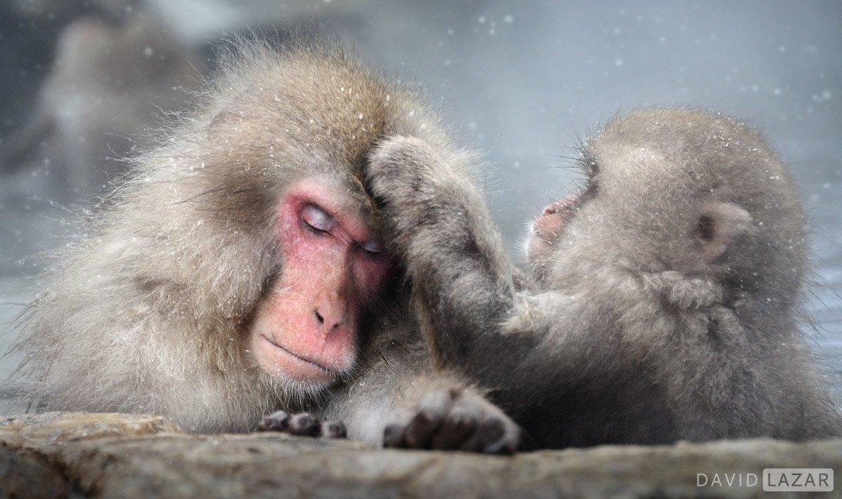 Japanese snow monkeys grooming