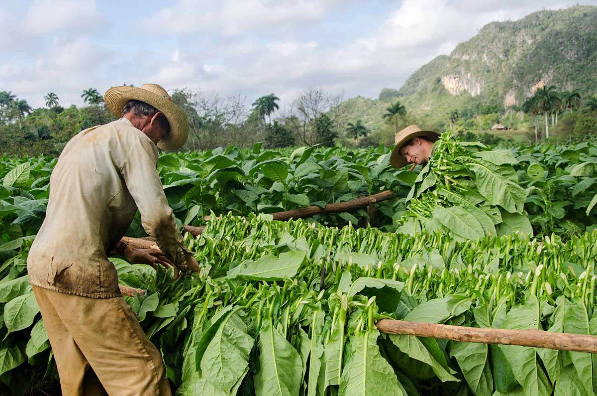 Cuba tobacco harvest Vinales Cuba photo tour