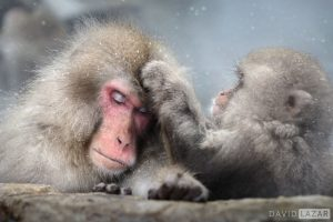 Japan - alt=Snow monkeys on Japan photo tour grooming