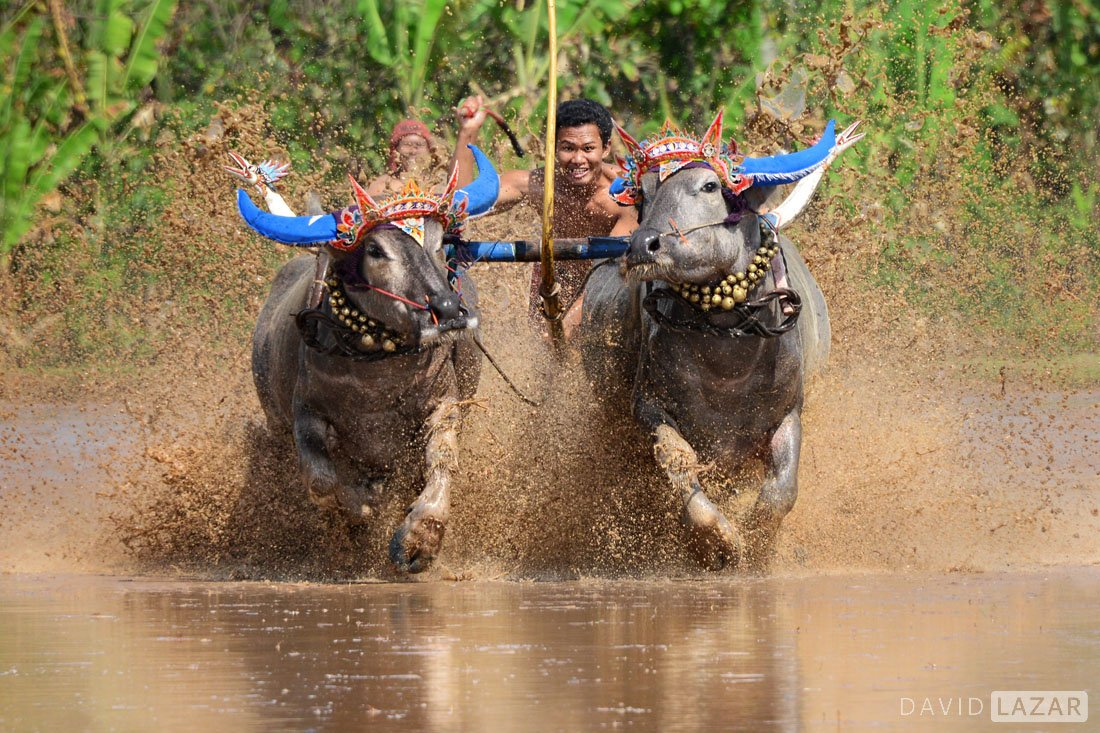 Buffalo-racing-in-the-water-on-Bali-is-rare