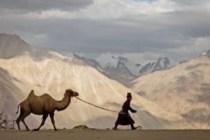 Ladakh-Tibetan-Nomad-Bactian-Camel_India-Luminous-Journeys-1