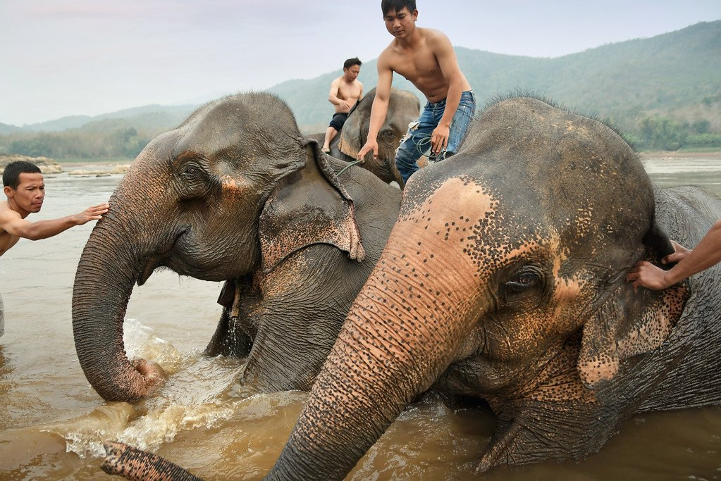 Elephants on the Mekong River in Laos
