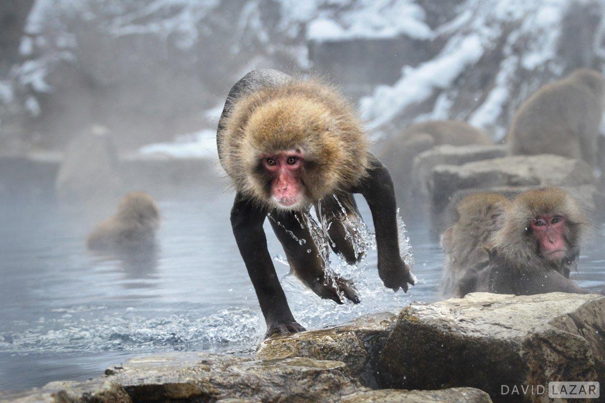 Snow monkey in action taken on Japn photo tour workshop