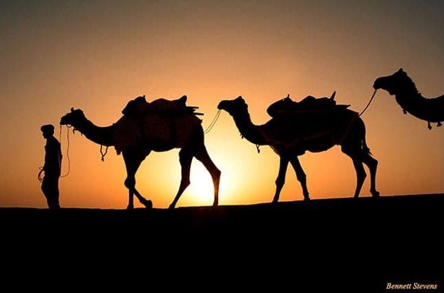 Camels on sand dunes at sunset taken during India photo tour