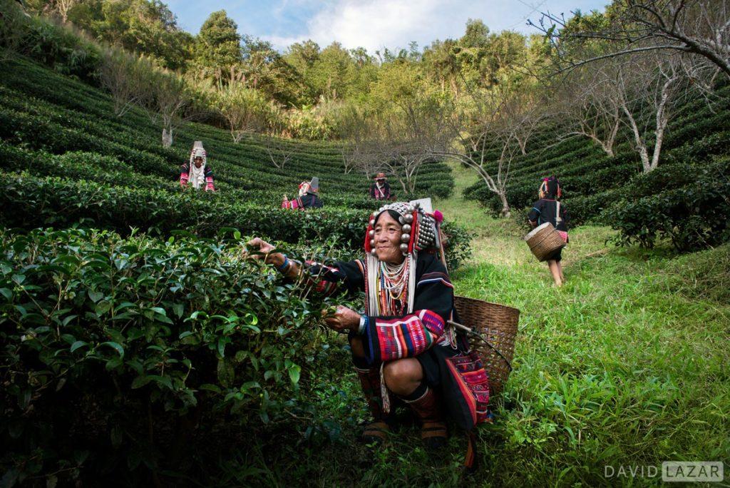 Thailand Akha picking tea taken on Southeast Asia photo tour