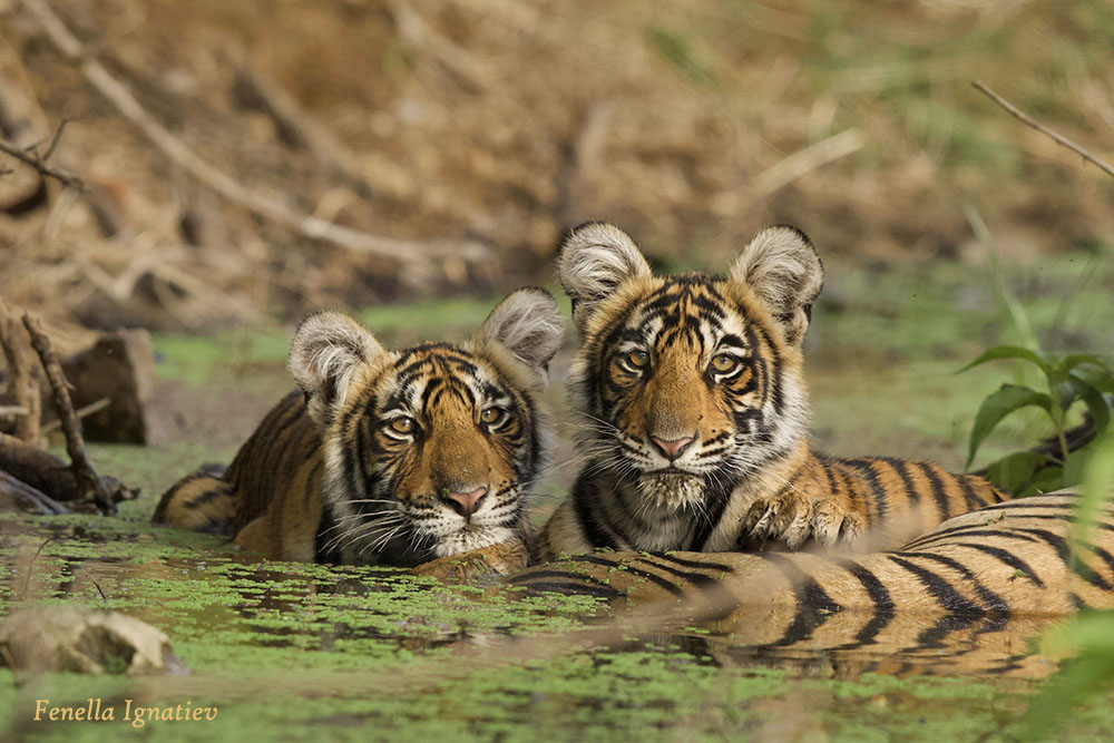 Tigers Ranthambore Katie Garrod India Photo Tour