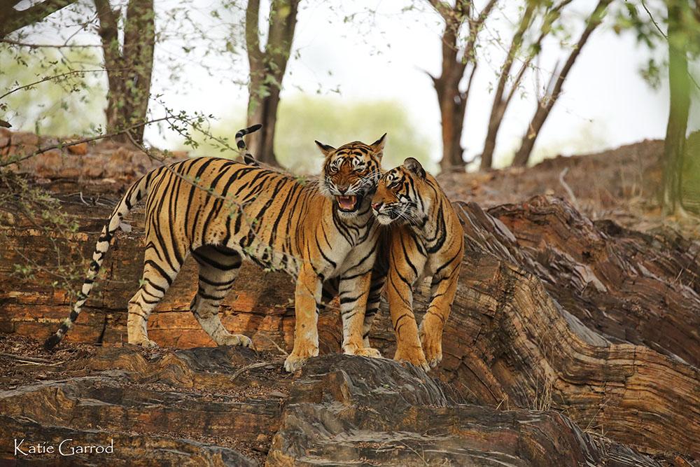 cubs Ranthambore Fenella Ignatiev India photo tour