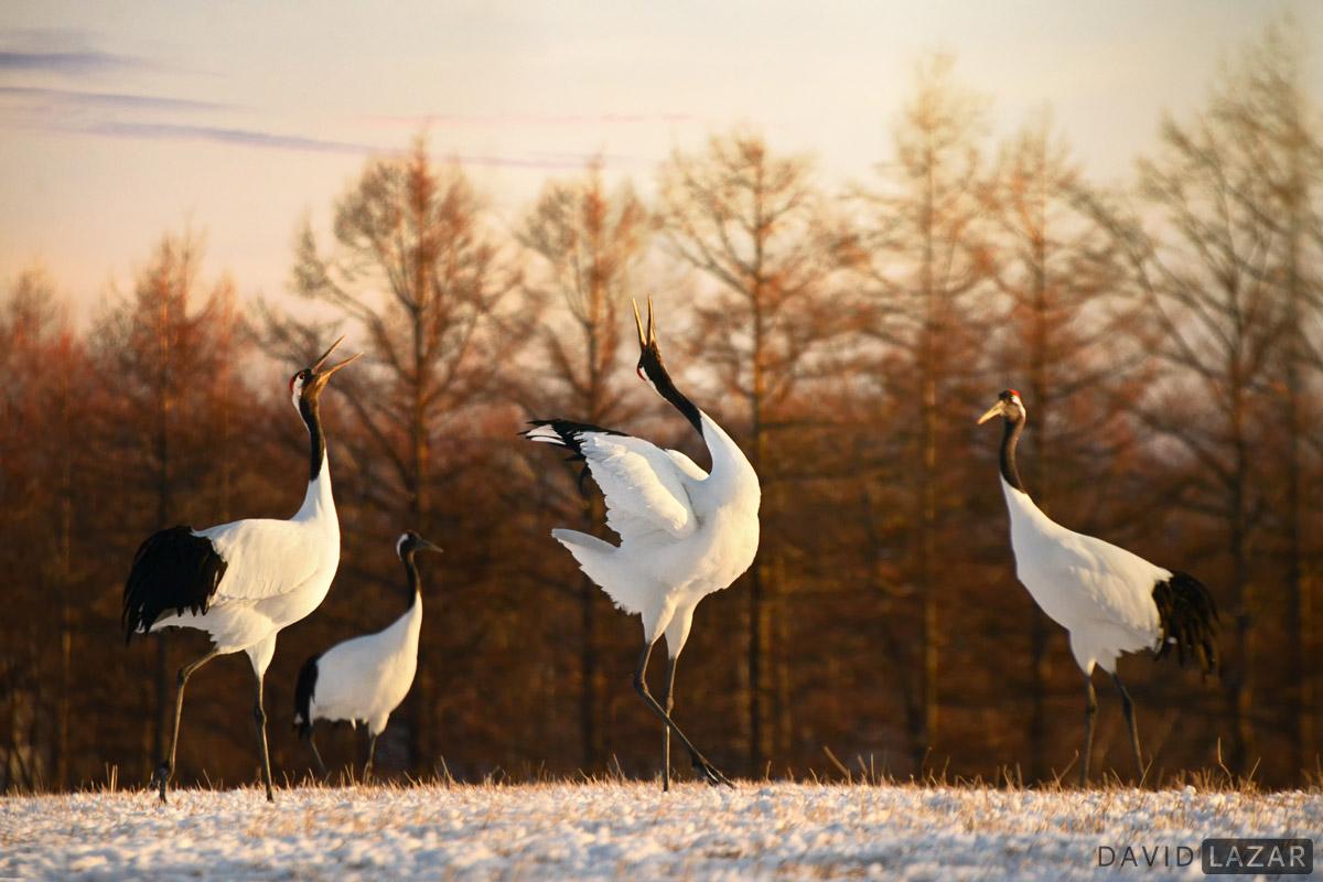 David Lazar - Japan-photo-tour- Red-crowned-cranes
