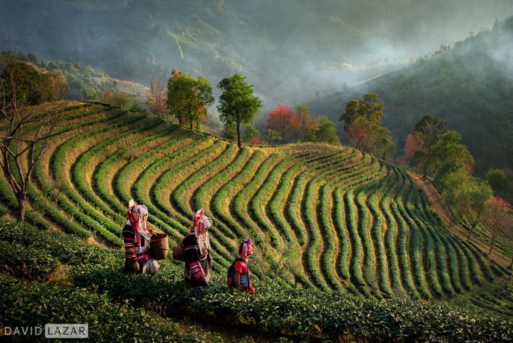 Akha tea harvest in Northern Thailand
