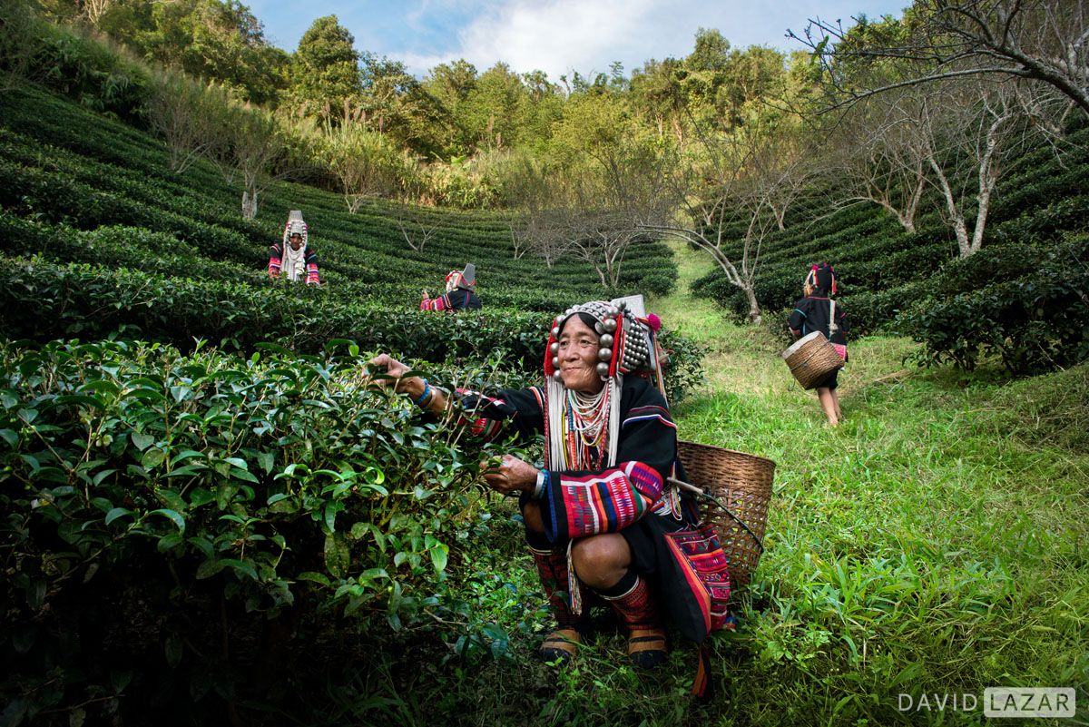 Akha people picking tea in remote area accessed on Southeast Asia photo tour workshop